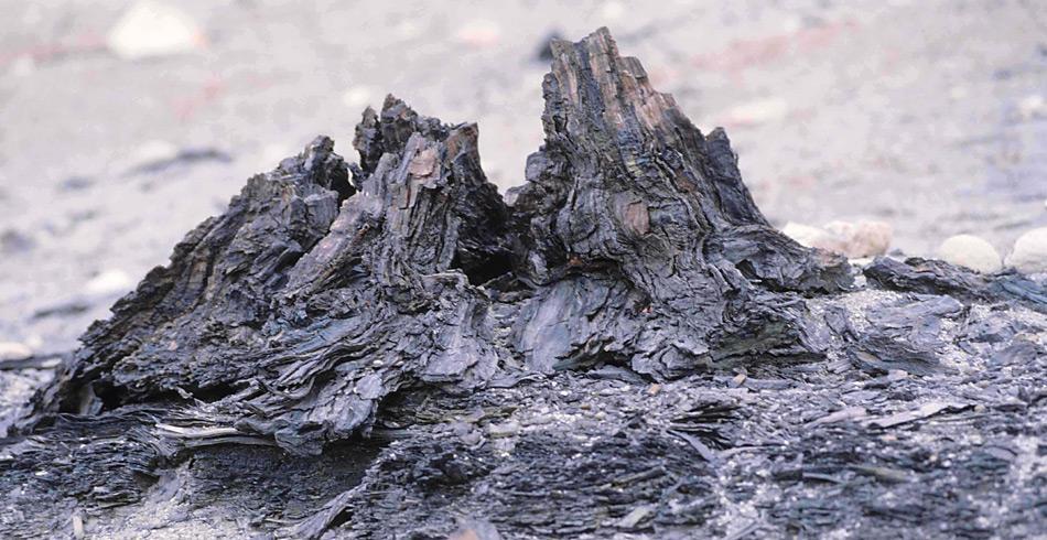 Mumifizierter Baumstumpf auf den Geodetic Hills von Axel Heiberg Island.
