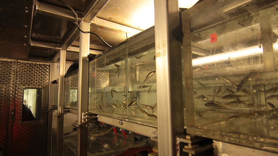 Die gefangenen Atlantischen Kabeljaue werden an Bord des Forschungsschiffes Heincke in Aquarien gehalten und zum Alfred-Wegener-Institut in Bremerhaven transportiert.