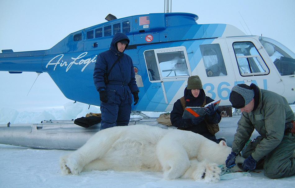 Nach der Betäubung wird der Eisbär vermessen, markiert und registriert wie dieses Beispiel aus den USA zeigt.