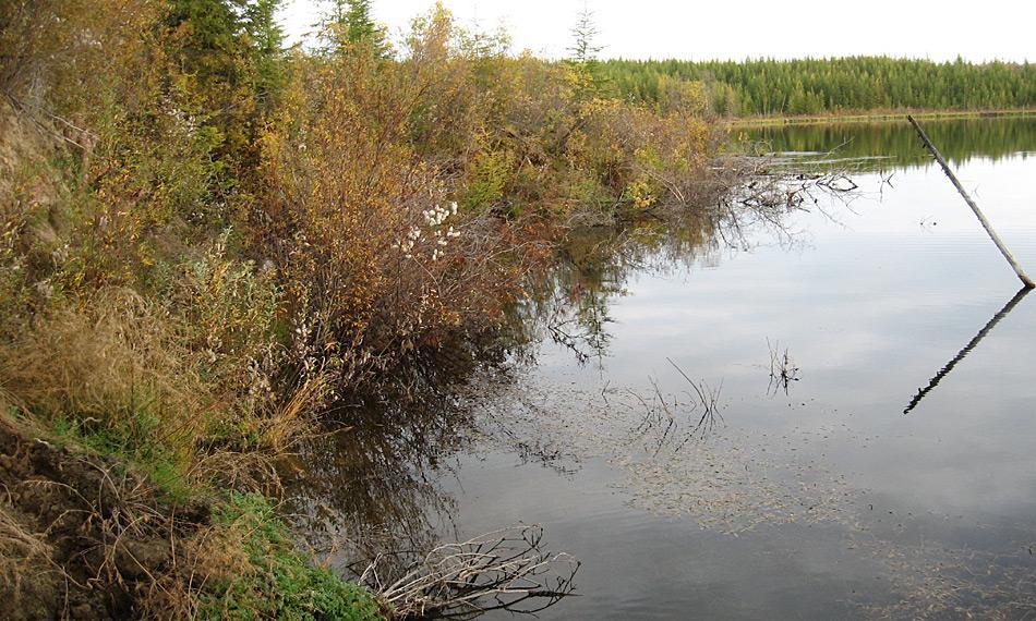 Moose, Sträucher, Bäume und viele Wasserpflanzen wachsen entlang der Uferlinie dieses Thermokarst-Sees. Sie bieten Futter- und Lebensraum für viele Vögel. Aber: Je weiter die Erosion des Ufers voranschreitet, desto mehr des Uferbewuchses stürzt in das Wasser, sinkt auf den Grund und bildet dort dicke Schichten. Foto: Guido Grosse, AWI