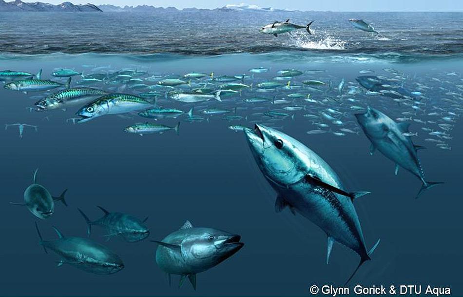 Die Nahrung der Blauflossenthunfische besteht aus Schwarmfischen der Hochsee, darunter Makrelen, Seehechte, Hornhechte, Sardellen und Heringe, sowie aus Kalmaren.
