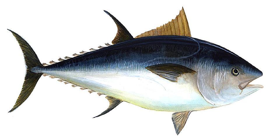 Der Blauflossenthunfische wird gewöhnlich drei Meter lang und erreichen mit einem Alter von 15 Jahren ein Gewicht von 300 Kilogramm. Der grösste gefangene Fisch war 4,58 Meter lang und der schwerste Fisch hatte ein Gewicht von 684 Kilogramm.