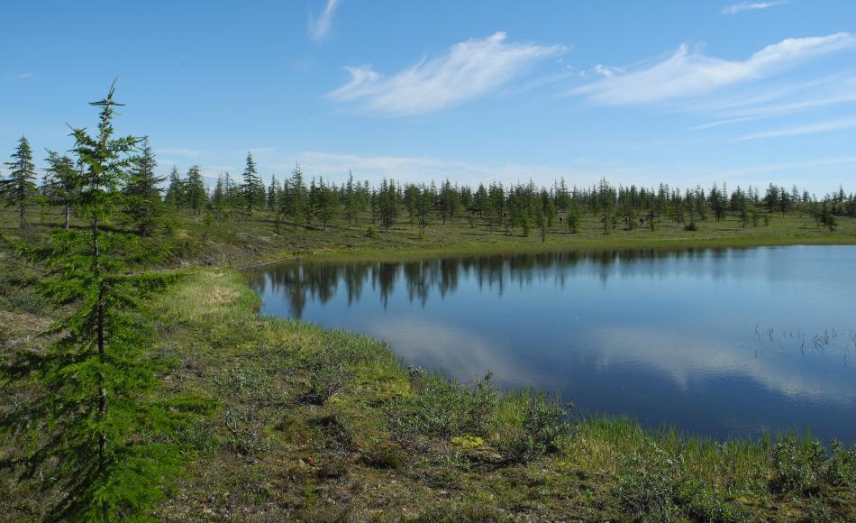 Lärchenwälder machen einen signifikanten Teil der sibirischen Taiga aus. Die Bäume, die nur eine geringe Bodentiefe benötigen zum Wurzeln, sind die letzte Grenze vor der arktischen Tundra. Bild: Stefan Kruse
