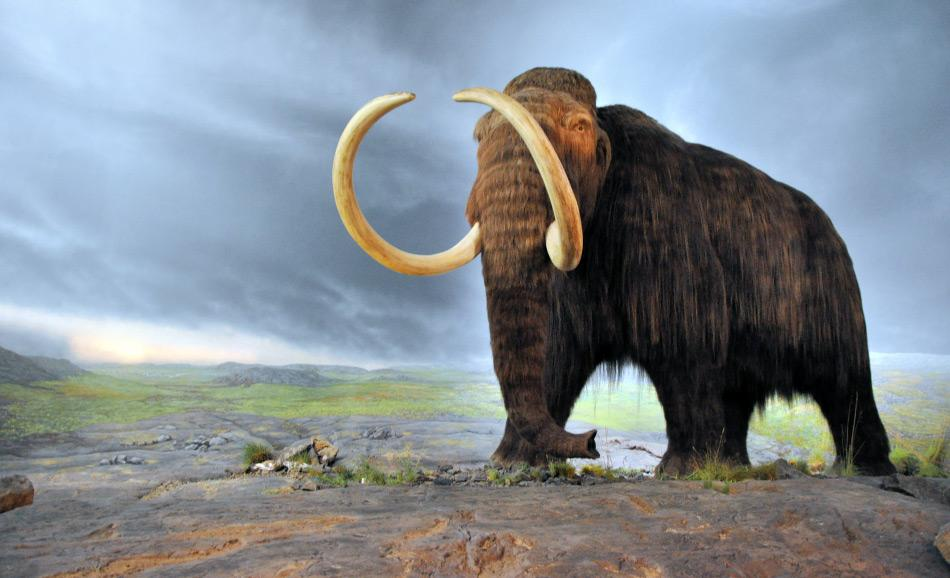Wollhaarmammuts lebten während der Eiszeiten in weiten Teilen der Nordhemisphäre. Aufgrund von Klimaveränderungen starben die Festlandpopulationen nach der letzten Eiszeit aus. Nur einige wenige Populationen überlebten im Beringseegebiet. Die letzten Mammuts lebten noch vor rund 2'000 Jahren auf der Insel Wrangel.