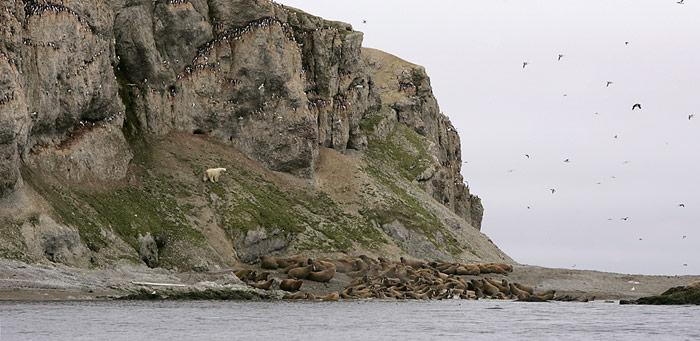 Seltene Begegnung auf Oranskiy Island. Walrosse, Vogelfelsen und Eisbär auf demselben Bild.