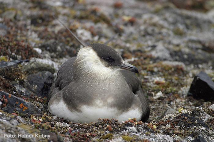 022-Arctic-Skua-Nest