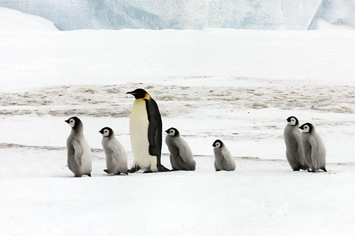 PolarNEWS_Kaiserpinguine_Snowhill_016