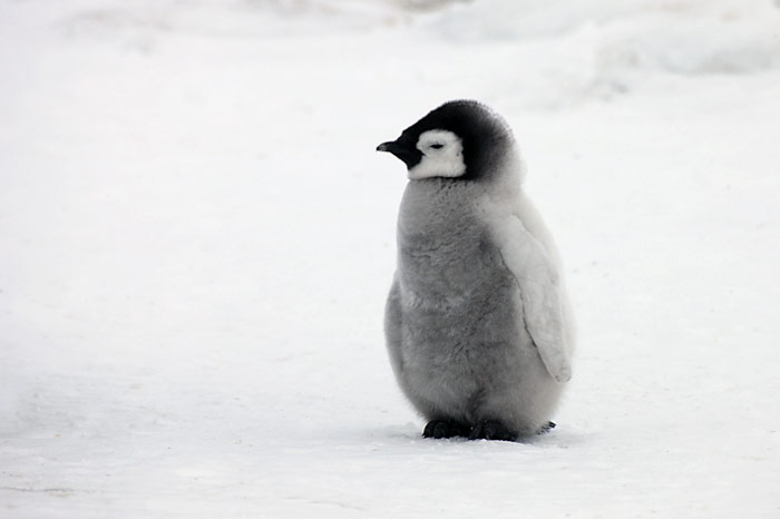 PolarNEWS_Kaiserpinguine_Snowhill_018
