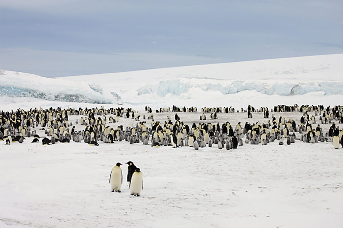 PolarNEWS_Kaiserpinguine_Snowhill_020