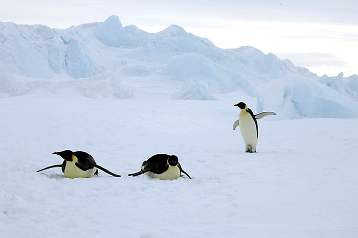 PolarNEWS_Kaiserpinguine_Snowhill_021