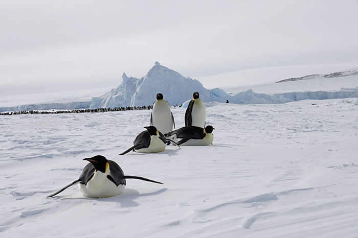 PolarNEWS_Kaiserpinguine_Snowhill_022