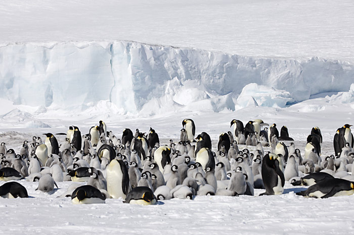 PolarNEWS_Kaiserpinguine_Snowhill_025