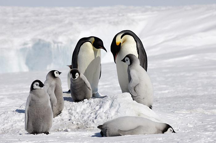 PolarNEWS_Kaiserpinguine_Snowhill_031
