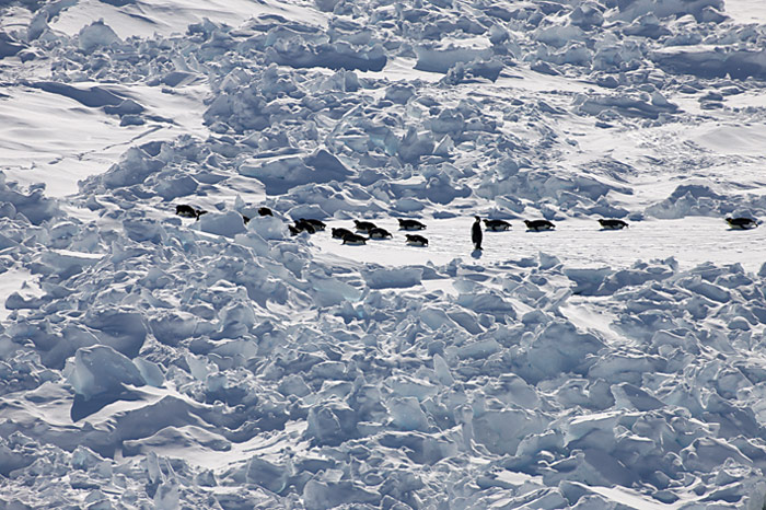 PolarNEWS_Kaiserpinguine_Snowhill_035