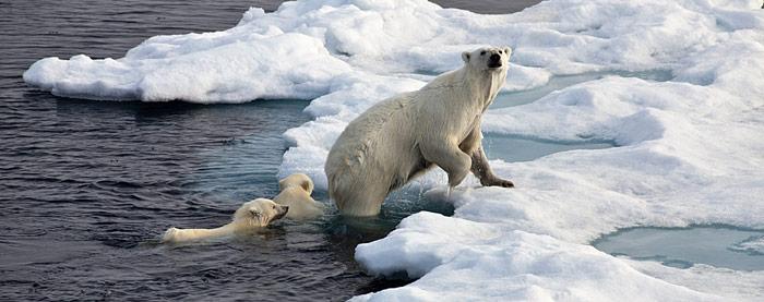 Schwimmende Eisbaeren