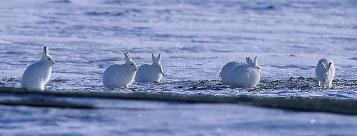 Noch weiss man noch nicht viel über den Polarhasen. Lesen Sie die spannende Tiergeschichte in PolarNEWS.