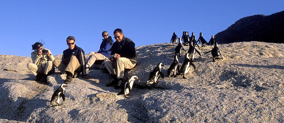 Bei Boulders Beach, südlich von Kapstadt sind die Pinguine eine der Hauptattraktion. Wenn sie am Abend von Fischfang zurückkehren zeigen Sie keine Scheu vor den Menschen.