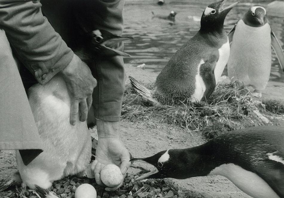 Der Edinburgh Zoo verzeichnet seit Jahrzehnten grosse Erfolge in der Aufzucht von Pinguinen in Gefangenschaft.