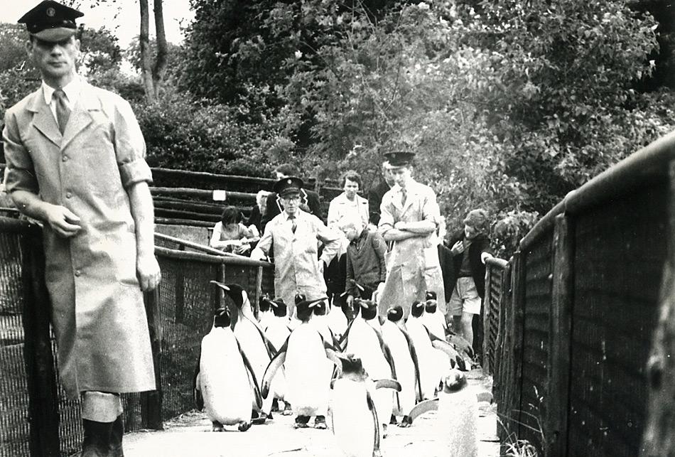 Pinguin-Parade im Zoo von Edinburgh in den 50er Jahren.